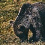 Tura foto, Wildlife – Toplita – 2020 Black Bear, Wildlife, Magazine, Animals, Photos, Animales, American Black Bear, Animaux, Magazines