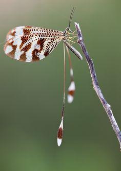 Nemoptera coa by buleria.deviantart.com on @deviantART
