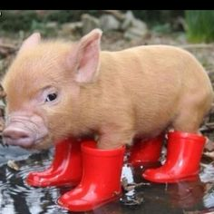 Cute little pig with rainboots!!