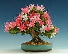"Azalea ""Nisho no Hikari""  19cm (7.5 inches)  Imported from Japan (styled since 2002)  Pot: Horst Heinzlreiter (Austria)"