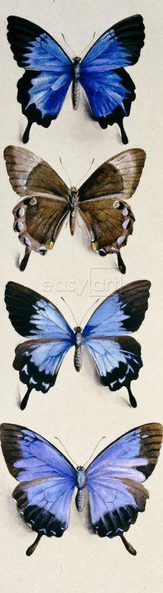 Four Butterflies (Papilo Ulysses) #butterfly #butterflies
