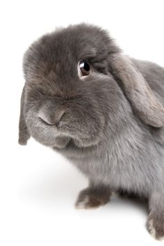Grey Lop Rabbit (Orig caption: Pet rabbit...my rupert lives on...)