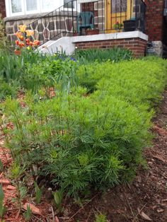 Threadleaf coreopsis has spread incredibly well in the light sandy soil May 23 2014 Sandy Soil, Starting A Garden, Weed, Grass, York, Plants, Marijuana Plants, Grasses, Plant