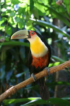 The Green-billed Toucan (Ramphastos dicolorus), also known as the Red- breasted Toucan, is found in southern and eastern Brazil.