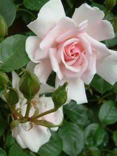 'City Of London' (Floribunda) Harkness, 1988 - a continual blooming soft pink that can be trained as a short climber; with healthy glossy green foliage, it grows to 6'; hardy to zone 4 with winter protection; fragrance is strong and sweet; f+