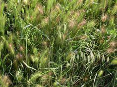 Trigo es una planta que puede medir hasta 1.5 metros    Es un cereal de la familia de las gramíneas. El trigo es una planta anual herbácea de hasta 1'2 m de altura. Sus flores se reúnen ...