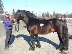 Dølehest - stallion Uddson
