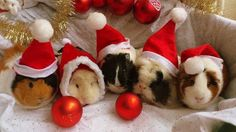 18 Festive Guinea Pigs All Ready For Christmas - World's largest collection of cat memes and other animals Animals And Pets, Funny Animals, Guniea Pig, Guinea Pig Bedding, Baby Guinea Pigs, Cute Piggies, Cute Little Animals, Christmas Animals, Christmas Pictures