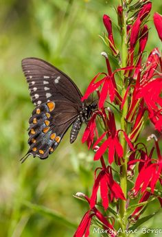 Spicebush Swallowtail with Cardinal Flower