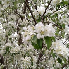 A spring snow flowering crabapple