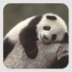 So I am getting a puppy courtesy of CJ (thank you!) I'm getting a mini pinscher yay! But what I really want is a BABY PANDA! I seriously want a baby panda, I was asking if there was any way … Baby Panda Pictures, Animal Pictures, Panda Bebe, Cute Panda, Schnauzer, Photo Panda, Image Panda, Panda Day, Panda Panda
