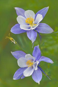 Blue Columbines « Igor Menaker Fine Art Photography