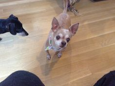 Hercules is a 13 year old chihuahua who was surrendered to is when his owner died. He is very mellow and just loves to cuddle and sleep. He likes other dogs and loves cats. He is new to the rescue and we are still learning about him and will update...