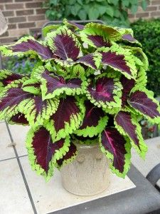 NGB Year of the Coleus: 'Kong Rose' Superb container plant, ideally in shade or part shade. Showy enough to stand alone in a pot. georgeweigel.net/plant-of-the-week