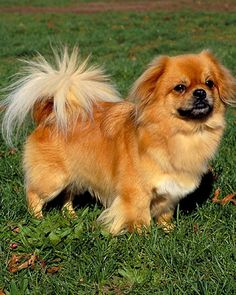 Saw this little guy - a tibetan spaniel - on Westminister too.  Never seen one before but he is PRECIOUS!  His name was Jackson named after Alan Jackson because he loves to sing!  LOL