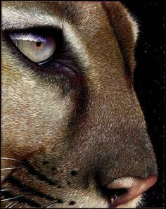 """Cougar Painting"" -- (PAINTING!!!) by Jurek Zamoyski -- The detail blows me away; look in the eye at the reflection of the hairs!"