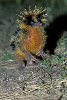 **Lowland Streaked Tenrec - The tenrec is a mammal of the family Tenrecidae, found on Madagascar and in parts of the African mainland. Tenrecs are widely diverse; as a result of convergent evolution, they resemble hedgehogs, shrews, opossums, mice and even otters.