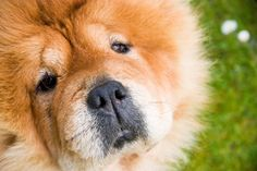 Chow Chow Dogs Pics Wallpaper