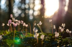 sunlit cyclamens on forest background with spiderweb