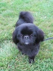 D-47634 Diva is an adopted Pekingese Dog in Mount Holly, NJ. Diva is a doll! This pint sized cutie is 4 years old and weighs 13 lbs. Her former owner could no longer keep her and they said that Diva i...