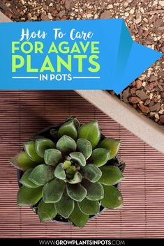 agave plants in pots