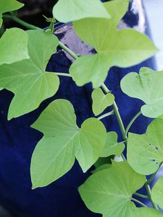 Learn everything you need to know about sweet potato vine! This popular container garden plan has big and bold leaves that add beautiful color to any garden. Find out what kind of sun, soil and weather conditions this annual needs to thrive.