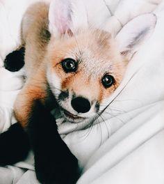 // animals // Fox // cute // wildlife // nature // photography //