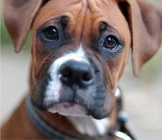 sweet boxer face. . . .