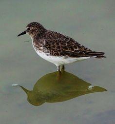 Salton Sea Shorebirds~ https://cindyknoke.com/2016/12/28/salton-sea-shorebirds/