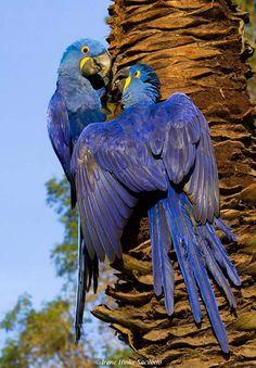 L'ara Hyacinthe ou Grand Ara Bleu est un oiseau en voie d'extinction, en raison de son plumage bleu; il est donc très difficile de s'en procurer – son prix s'élève entre 10 000 et 15 000 euros. Il vit en Amérique du Sud, précisément au Brésil et en Bolivie.