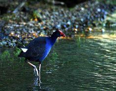 The Pukeko Reptiles, New Zealand, Feathers, Scene, Birds, Country, Animals, Frogs, Animales