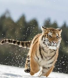 "483 Likes, 4 Comments - Wild Geography (@wildgeography) on Instagram: ""Run tiger run! Photography by Norbert Liesz #Wildgeography"""