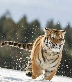 """23.7 χιλ. """"Μου αρέσει!"""", 40 σχόλια - Wild Geography (@wildgeography) στο Instagram: """"Run tiger run! 😘😘 Photography by Norbert Liesz #Wildgeography"""""""