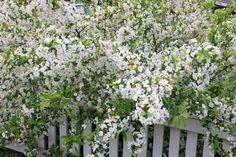 sargentii fk Eskilstuna E Garden Shrubs, Garden Plants, White Gardens, Outdoor Structures, Hamilton, Inspiration, Biblical Inspiration, Inspirational, Inhalation
