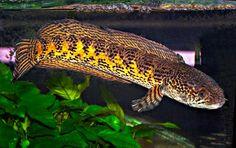 Orange striped Snakehead, Channa aurantimaculata Aquarium Set, Tropical Aquarium, Tropical Fish, Saltwater Tank, Saltwater Fishing, Beautiful Fish, Animals Beautiful, Snakehead Fish, Oscar Fish