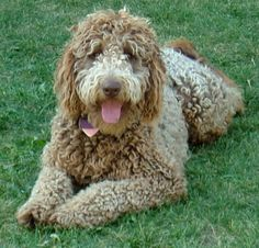 When you are done, head over to the Labradoodle Puppy Map, or check out the Labradoodles for sale on our Labradoodle breeder directory.