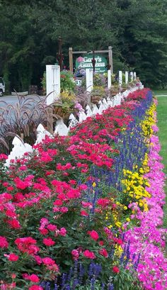 Knockouts Roses & Salvia -- great curb appeal inspiration for anyone who wants that country wildflower look!