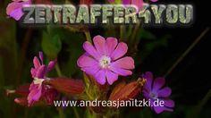 Rote Lichternelke Silene dioica blooming timelapse Zeitraffer
