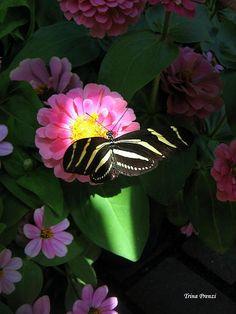 Butterfly ~ Title: In a Ray of Sunlight @Trina Prenzi