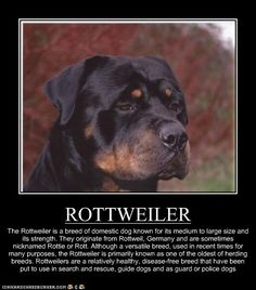 ROTTWEILER -I didn't realize that they were used for many things but especially herding animals.