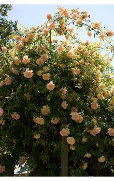 englische rosen on pinterest english roses david austin roses and. Black Bedroom Furniture Sets. Home Design Ideas