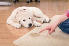 Enseñar a un perro a orinar no es difícil, requiere de paciencia, amor y seguir estos consejos que te damos a continuación.