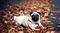 pug background wallpaper free
