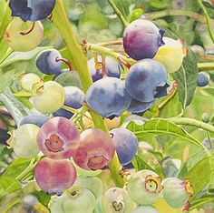 Life in Full Color - Watercolors by Cara Brown - Blueberry Symphony
