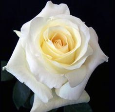 Buy online wholesale roses, white roses and white flowers for all occasions including wedding flowers, wedding decorations, Valentine's Day. Cream Roses, White Roses, White Flowers, Winter Wedding Flowers, Rose Wedding, Dream Wedding, Anastasia, Wholesale Roses, No Rain No Flowers