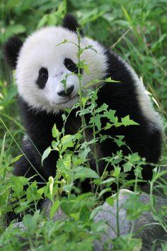 Panda boy Fu Bao, 11. May 2014, by Josef Gelernter, Zoo Vienna
