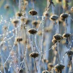 . Flor de otoño. Azul mar. Nacimiento silvestre. Sin control, sin abono, sin regado de la mano humana. Resistente a las inclemencias meteorológicas. Flores naturales y rusticas.  Somos los humanos tan conscientes de la importancia de la autenticidad y la integridad como la naturaleza, sus flores, plantas, arbustos y arboles.  Lealtad para pensar. Inocencia para sentir. Honestidad para hacer.  Integridad para Ser Entereza para Estar. Desapego para Tener.  Solo presencia y entrega es lo que…