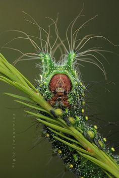 Catepillar by Igor Siwanowic. ~ETS #catepillar #entomology #strangecreatures