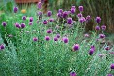 Purple Prairie Clover is a drought-tolerant plant that will attract birds, bees, & butterflies to your Colorado garden.