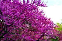 Google Image Result for http://www.featurepics.com/FI/Thumb300/20080523/Purple-Flowers-Tree-743298.jpg
